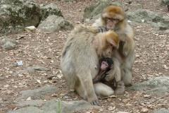 Ape Family